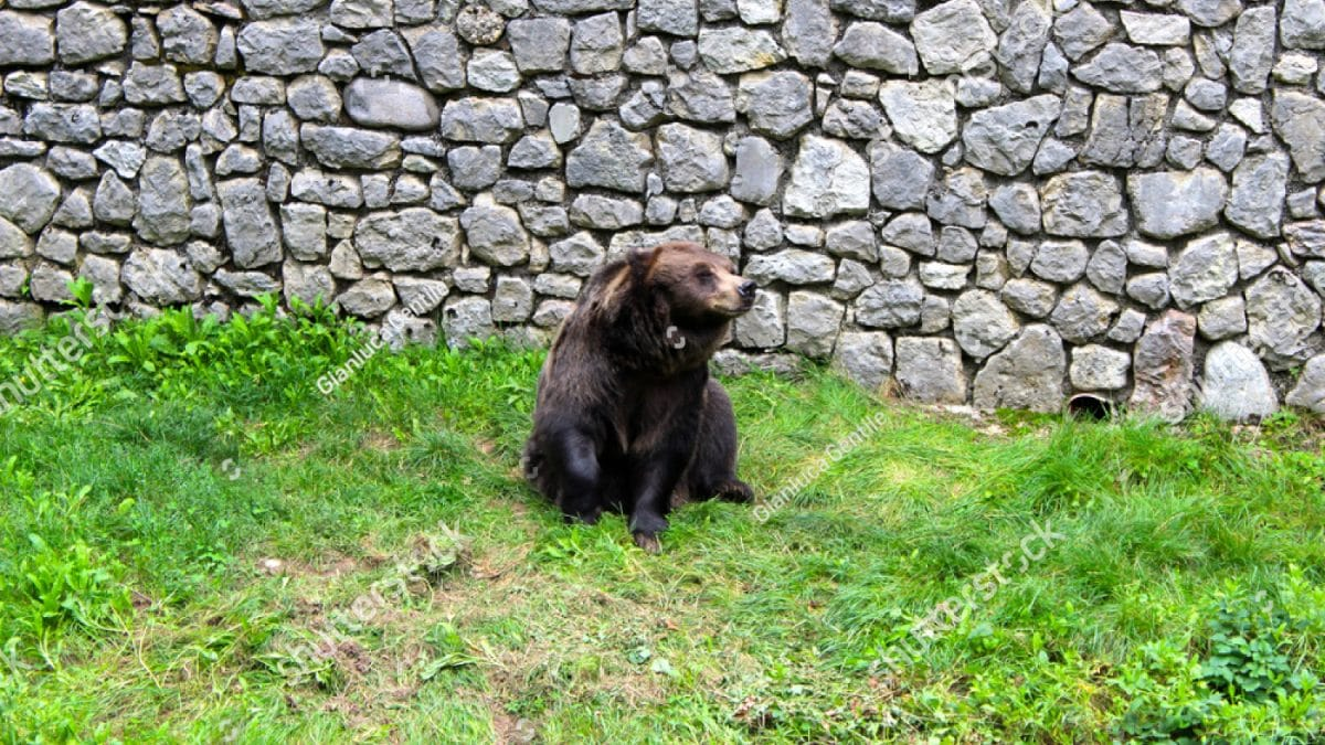 - stock photo a beautiful bear found in the natural park 1030989913 1200x675 - A beautiful bear found in the natural park