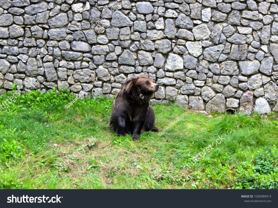 - stock photo a beautiful bear found in the natural park 1030989913 960x720 - A beautiful bear found in the natural park