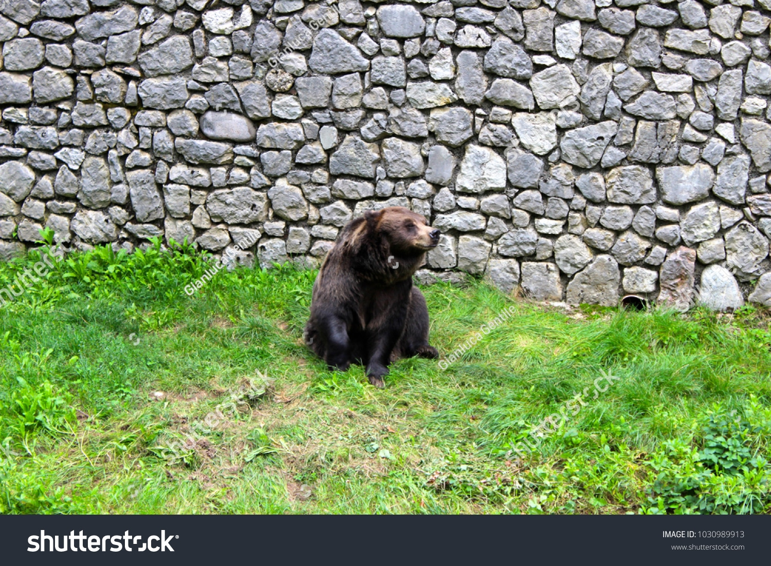 - stock photo a beautiful bear found in the natural park 1030989913 - A beautiful bear found in the natural park