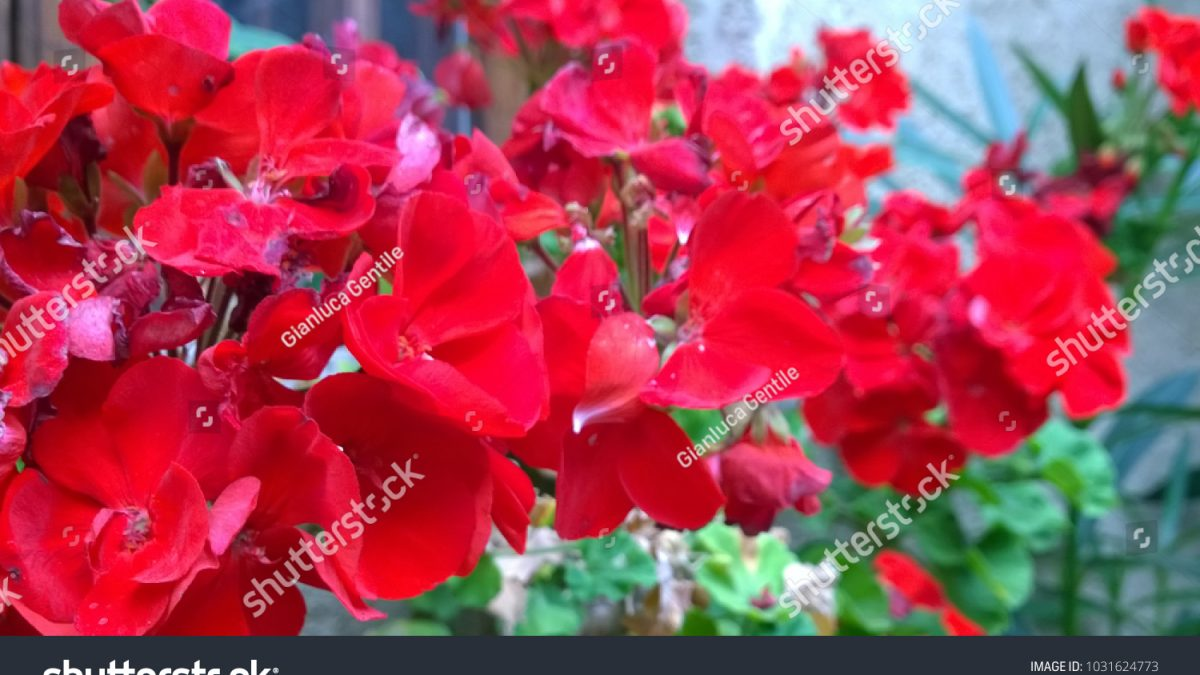 - stock photo a beautiful bunch of red flowers 1031624773 1200x675 - A beautiful bunch of red flowers