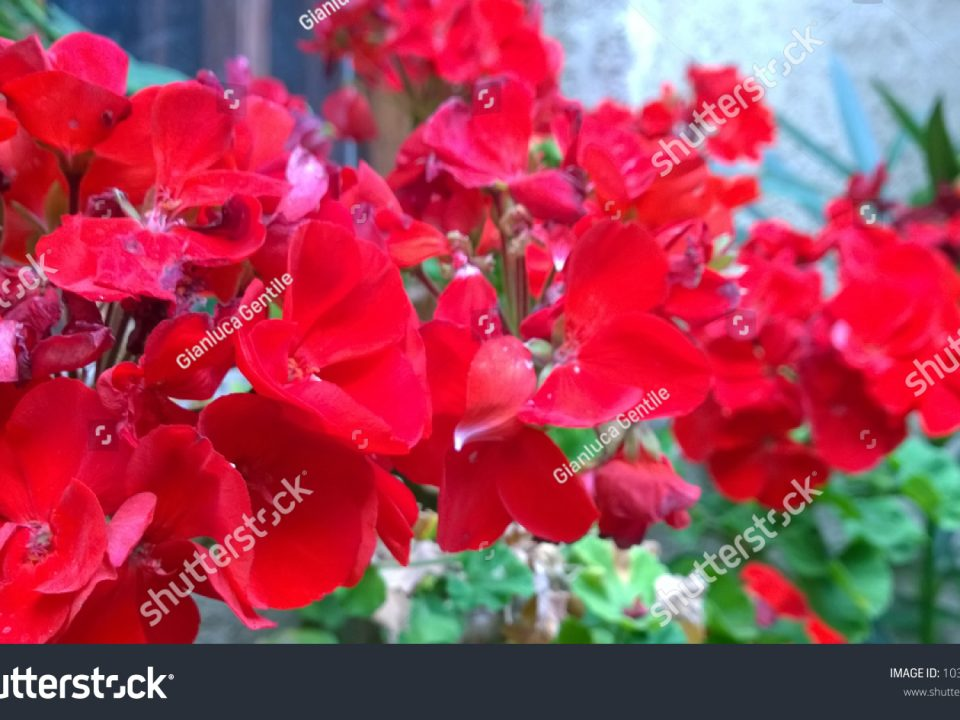 - stock photo a beautiful bunch of red flowers 1031624773 960x720 - A beautiful bunch of red flowers