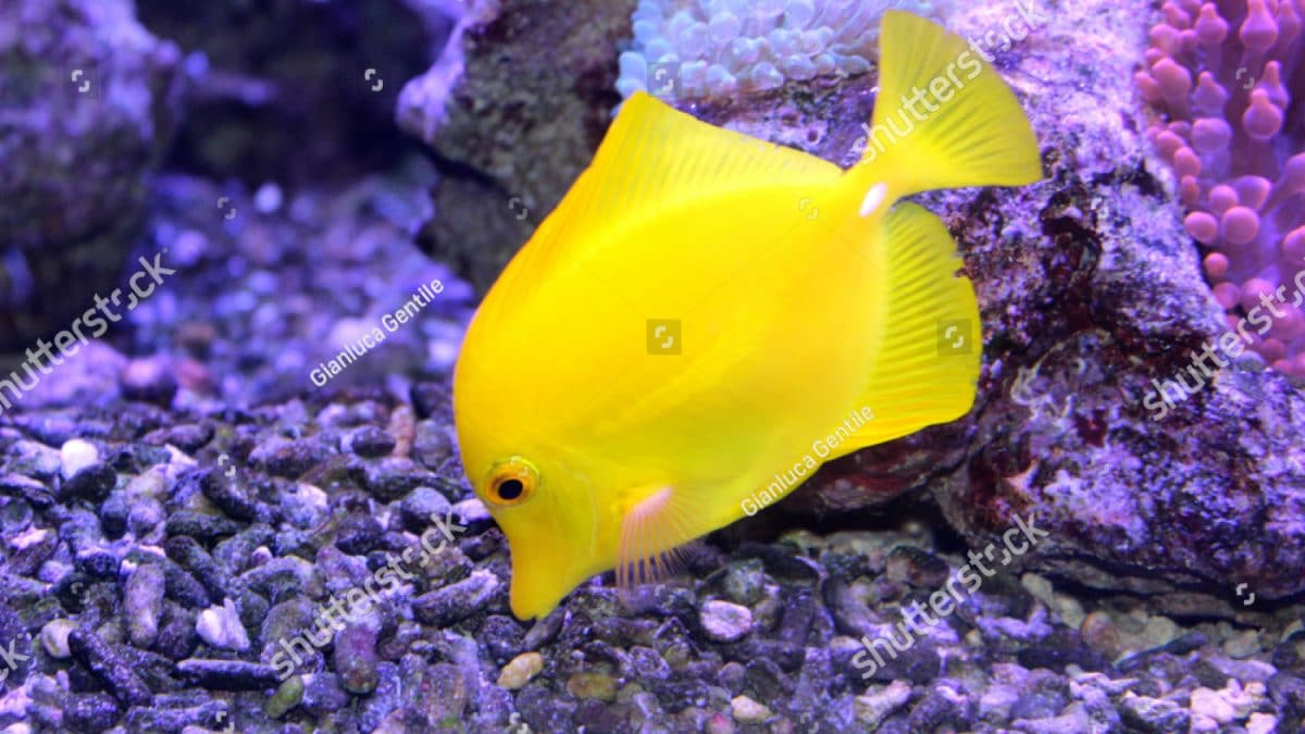 - stock photo a beautiful yellow fish in the aquarium 1031739097 1200x675 - A beautiful yellow fish in the aquarium