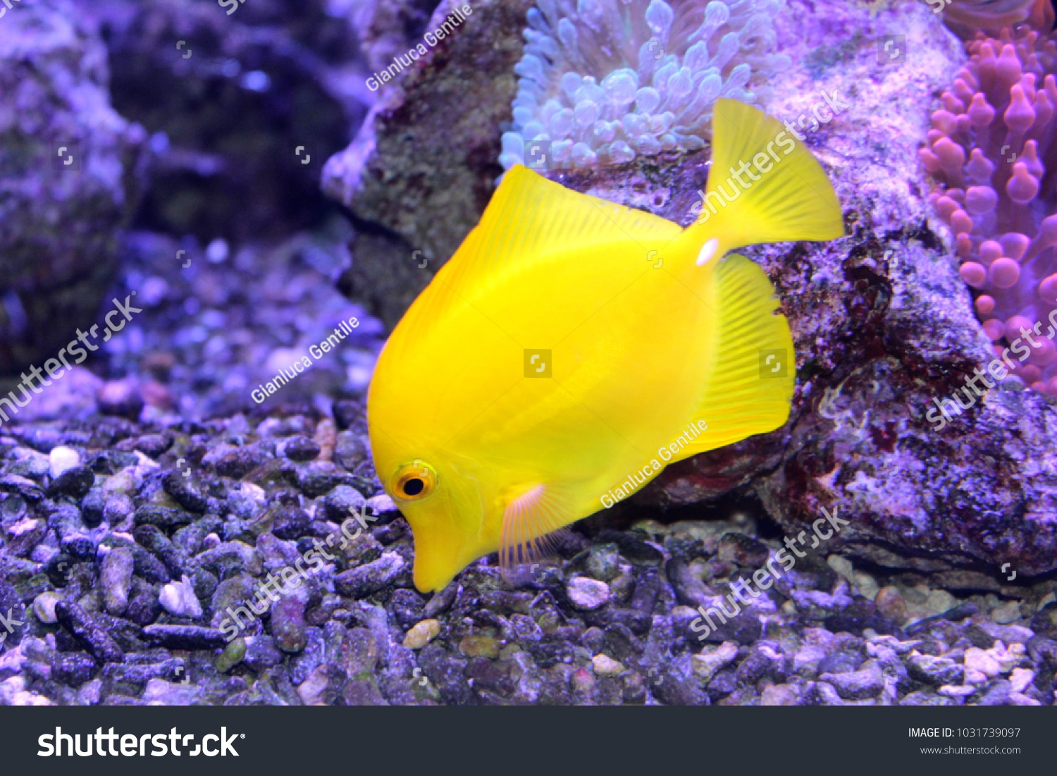- stock photo a beautiful yellow fish in the aquarium 1031739097 - A beautiful yellow fish in the aquarium
