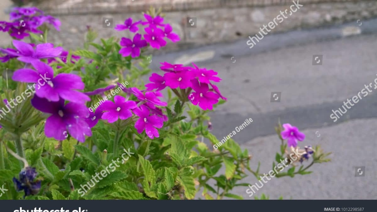- stock photo purple spring flowers 1012298587 1200x675 - Purple Spring Flowers