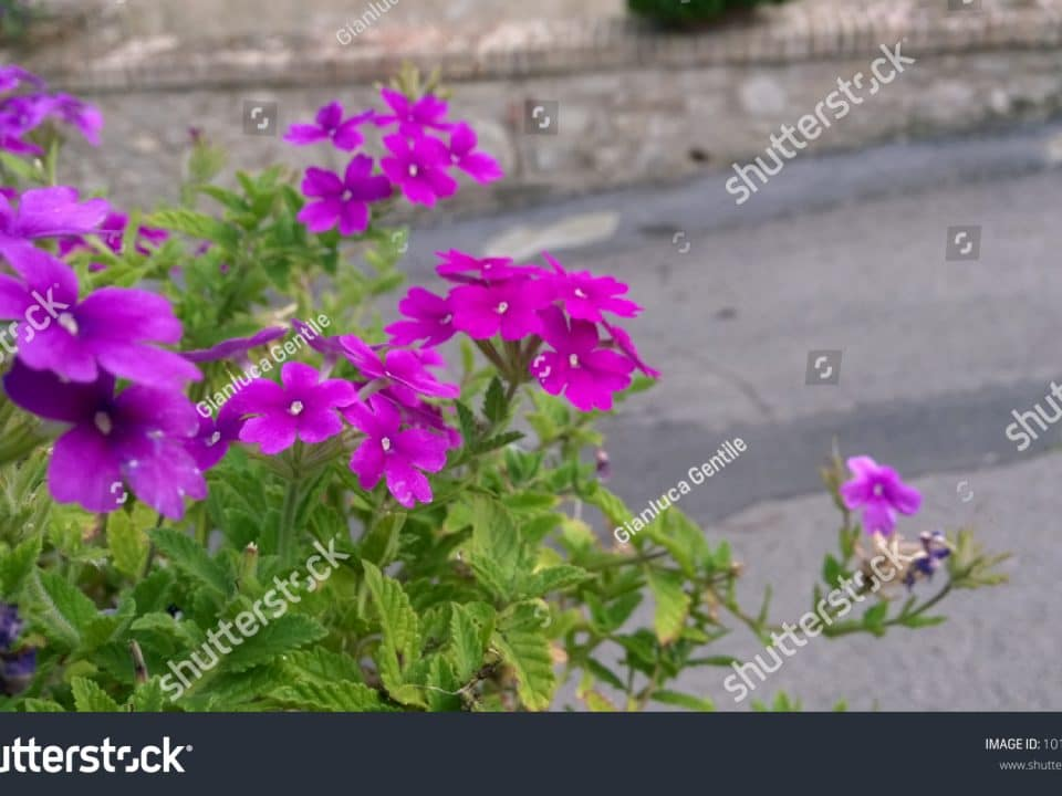 - stock photo purple spring flowers 1012298587 960x720 - Purple Spring Flowers