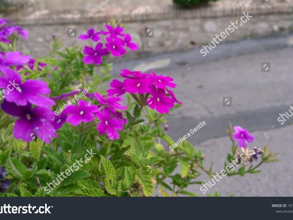 - stock photo purple spring flowers 1012298587 960x720 - Purple Spring Flowers