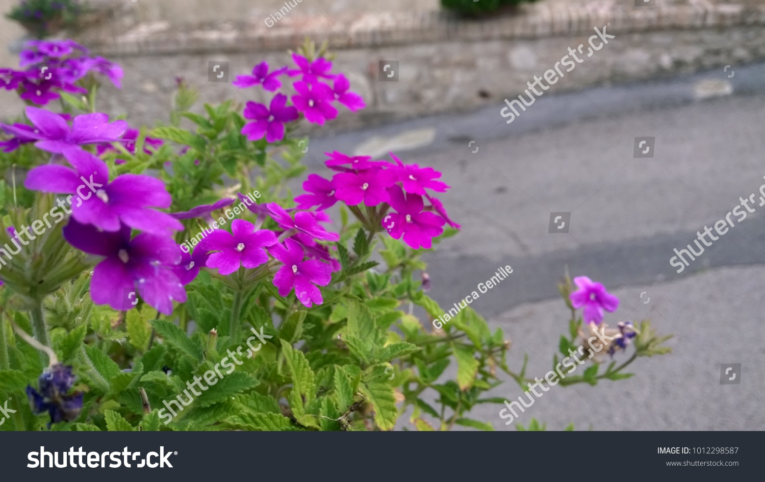 - stock photo purple spring flowers 1012298587 - Purple Spring Flowers